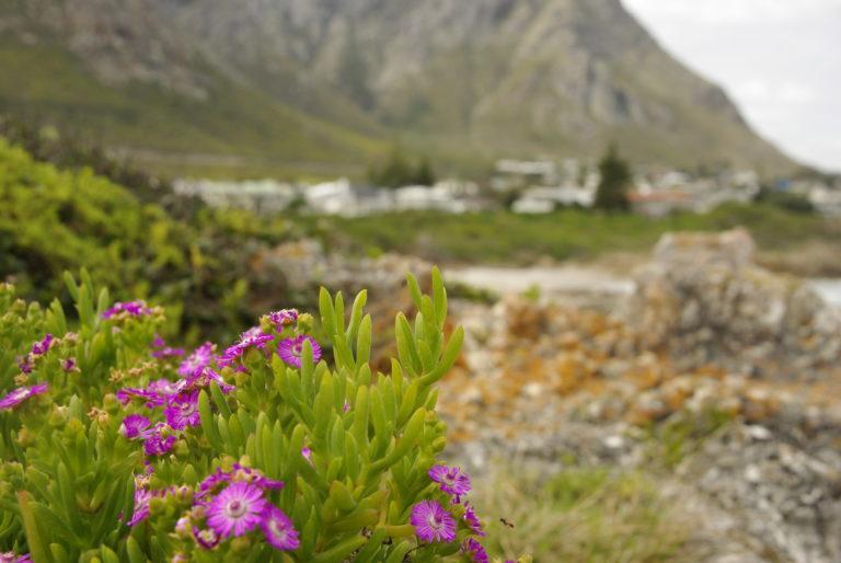 Blumen bei Hermanus2(1)